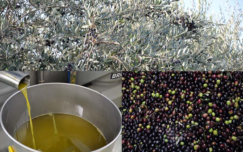 Oljčno olje iz Istre in Kvarnerja