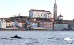 Delfini pred Piranom