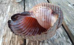 Sodci (Tonnidae)